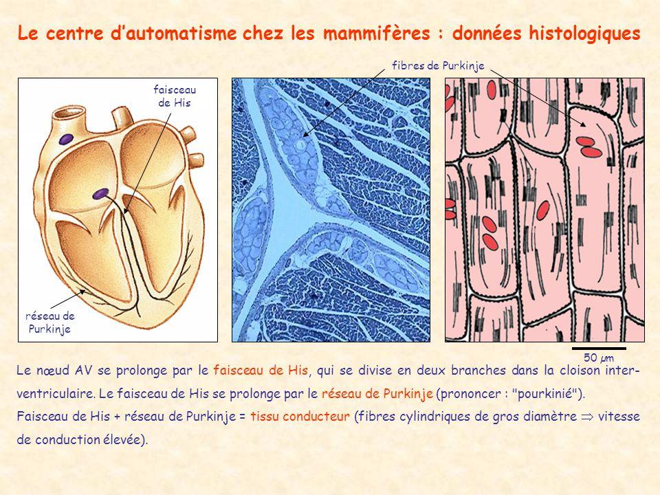 Le centre dautomatisme chez les mammifères : données histologiques faisceau de His réseau de Purkinje 50 µm Le nœud AV se prolonge par le faisceau de