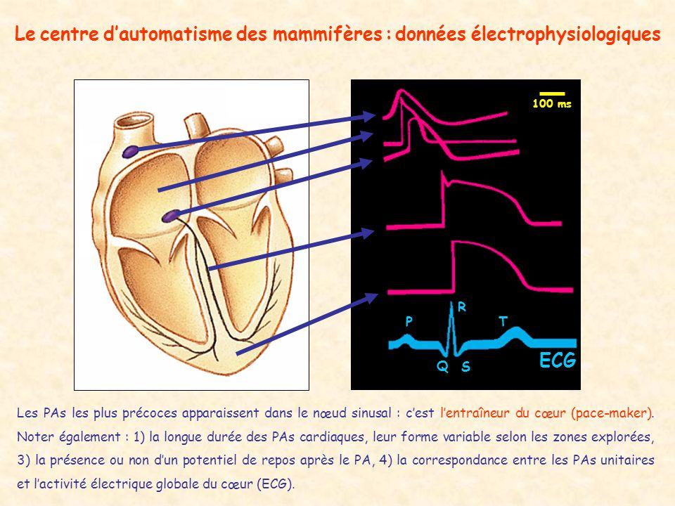 Le centre dautomatisme des mammifères : données électrophysiologiques ECG Les PAs les plus précoces apparaissent dans le nœud sinusal : cest lentraîne