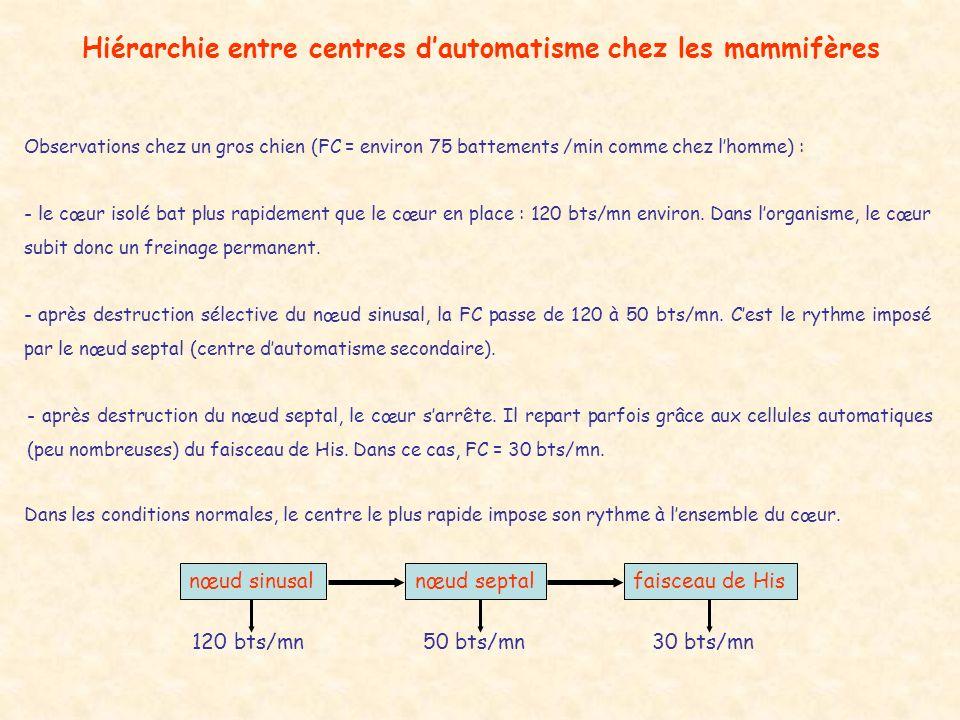 Hiérarchie entre centres dautomatisme chez les mammifères Observations chez un gros chien (FC = environ 75 battements /min comme chez lhomme) : - le c
