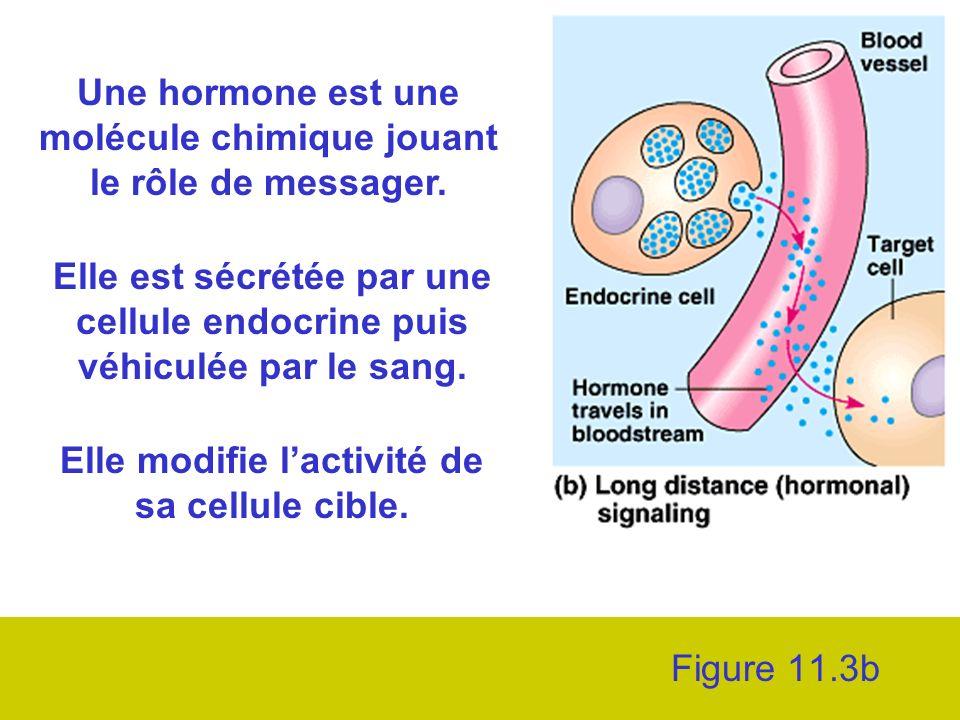 Figure 11.3b Une hormone est une molécule chimique jouant le rôle de messager.
