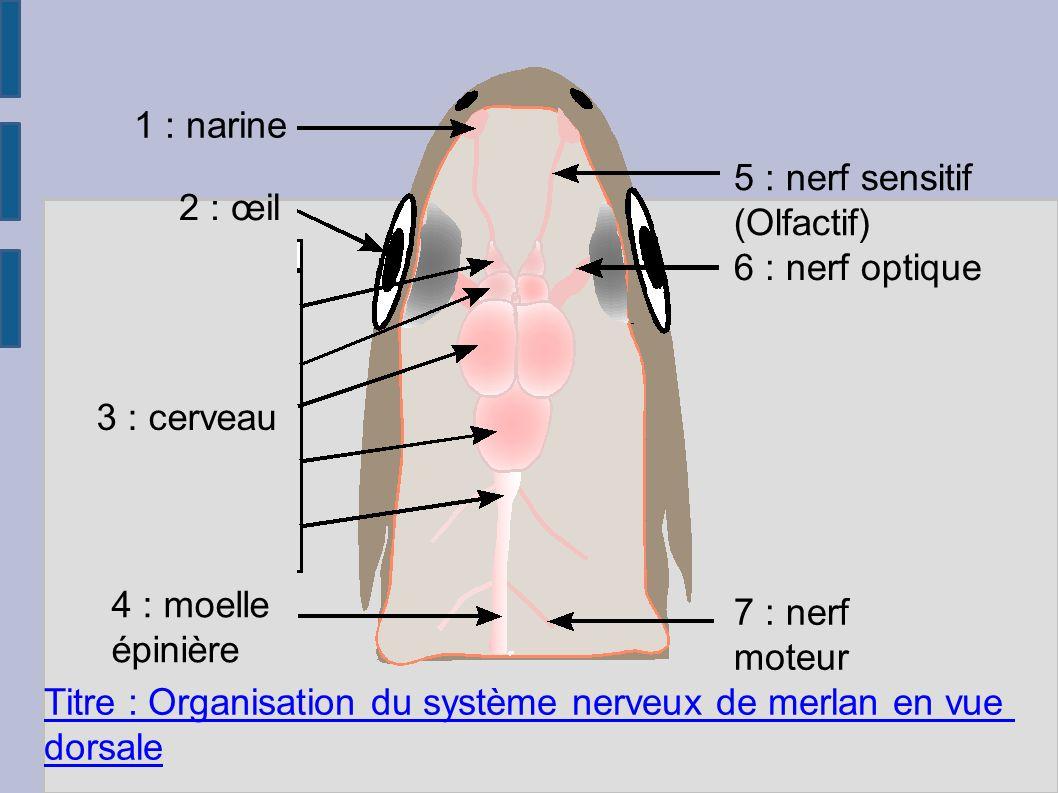1 : narine 2 : œil 3 : cerveau 4 : moelle épinière 5 : nerf sensitif (Olfactif) 6 : nerf optique 7 : nerf moteur Titre : Organisation du système nerveux de merlan en vue dorsale