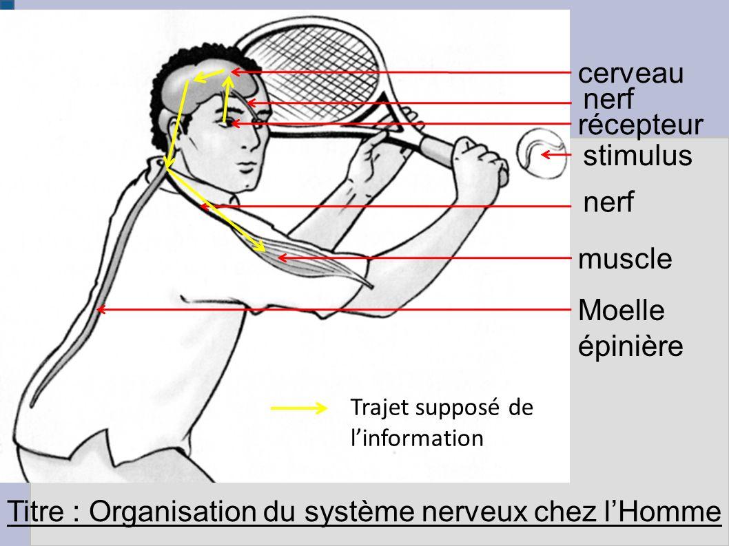 Ex : nerf optique Nerf sensitif Centres nerveux : - cerveau - moëlle épinière Nerf moteur Effecteurs = Musclese Réalisation du mouvement Le mouvement et sa commande Organe des sens = Récepteur (Exemple : œil) Messages nerveux sensitifs Messages nerveux moteurs Stimulus = message de l environnement
