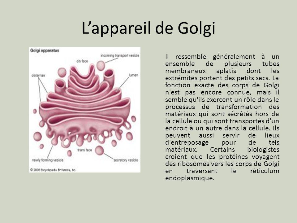Lappareil de Golgi Il ressemble généralement à un ensemble de plusieurs tubes membraneux aplatis dont les extrémités portent des petits sacs. La fonct