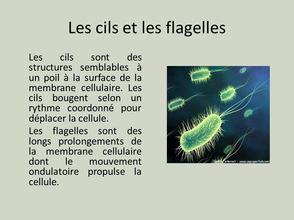 Les cils et les flagelles Les cils sont des structures semblables à un poil à la surface de la membrane cellulaire. Les cils bougent selon un rythme c
