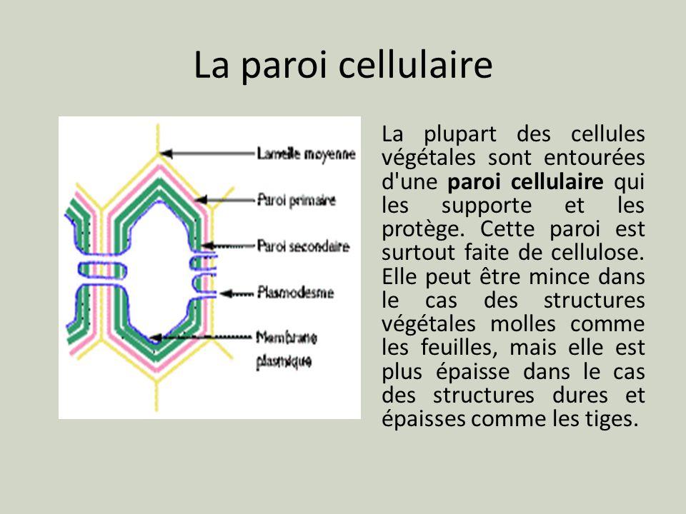 La paroi cellulaire La plupart des cellules végétales sont entourées d'une paroi cellulaire qui les supporte et les protège. Cette paroi est surtout f