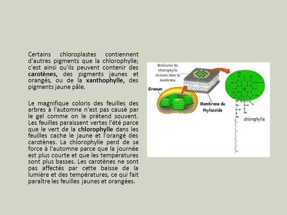 Certains chloroplastes contiennent d'autres pigments que la chlorophylle; c'est ainsi qu'ils peuvent contenir des carotènes, des pigments jaunes et or