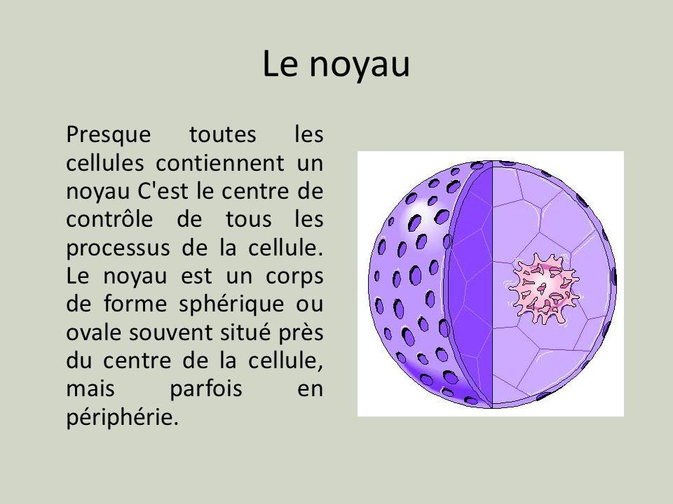 Le noyau Presque toutes les cellules contiennent un noyau C'est le centre de contrôle de tous les processus de la cellule. Le noyau est un corps de fo
