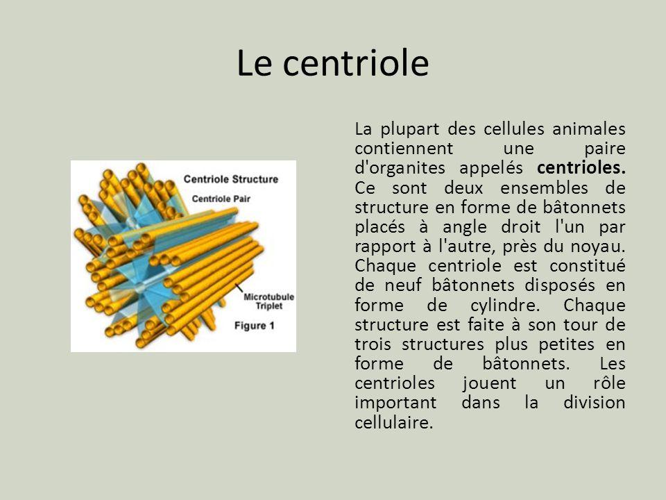 Le centriole La plupart des cellules animales contiennent une paire d'organites appelés centrioles. Ce sont deux ensembles de structure en forme de bâ