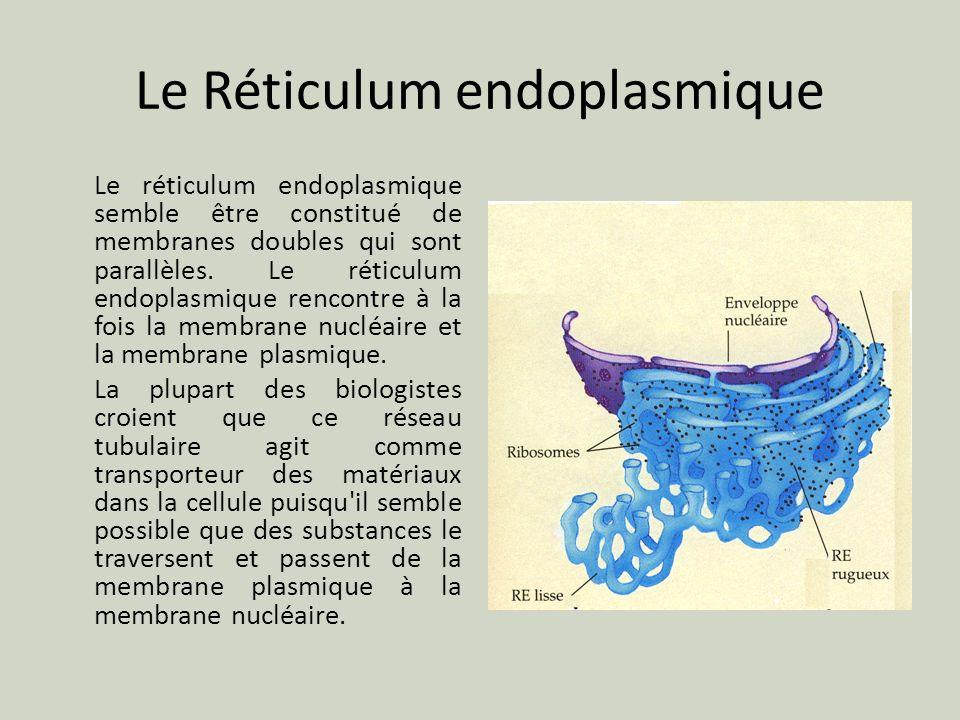 Le Réticulum endoplasmique Le réticulum endoplasmique semble être constitué de membranes doubles qui sont parallèles. Le réticulum endoplasmique renco