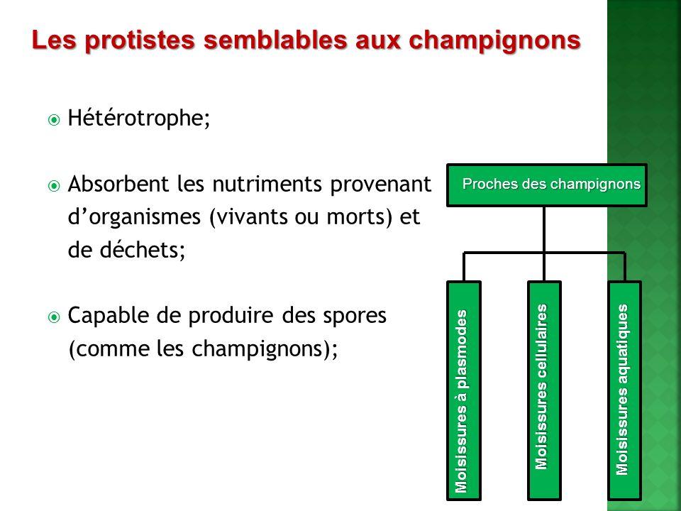 Hétérotrophe; Absorbent les nutriments provenant dorganismes (vivants ou morts) et de déchets; Capable de produire des spores (comme les champignons);