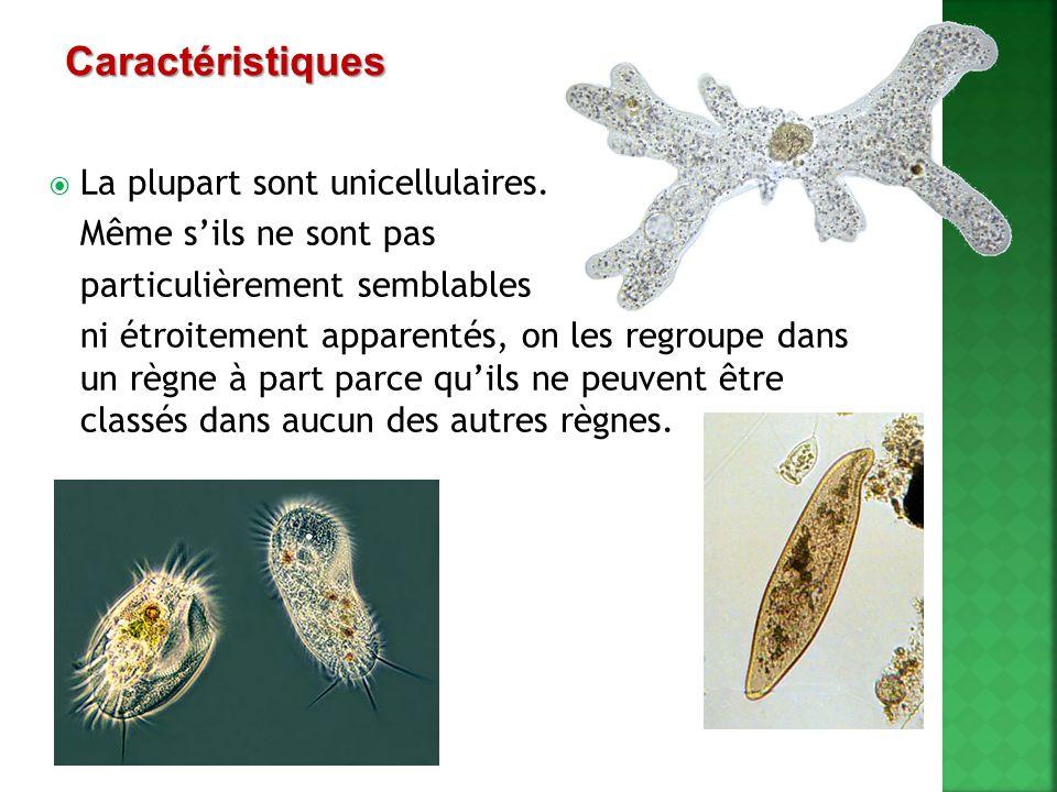 La plupart sont unicellulaires. Même sils ne sont pas particulièrement semblables ni étroitement apparentés, on les regroupe dans un règne à part parc