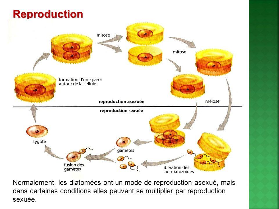Reproduction Normalement, les diatomées ont un mode de reproduction asexué, mais dans certaines conditions elles peuvent se multiplier par reproductio