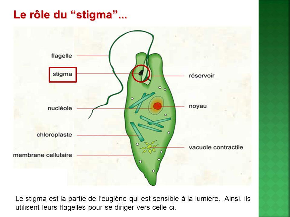 Le stigma est la partie de leuglène qui est sensible à la lumière. Ainsi, ils utilisent leurs flagelles pour se diriger vers celle-ci. Le rôle du stig