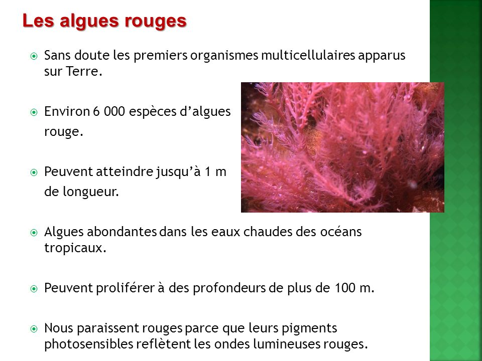 Sans doute les premiers organismes multicellulaires apparus sur Terre. Environ 6 000 espèces dalgues rouge. Peuvent atteindre jusquà 1 m de longueur.