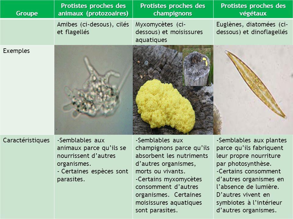 Groupe Protistes proches des animaux (protozoaires) Protistes proches des champignons Protistes proches des végétaux Amibes (ci-desous), cilés et flag