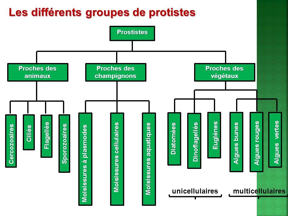 Les différents groupes de protistes Prostistes Proches des champignons Moisissures aquatiques Moisissures cellulaires Moisissures à plasmodes Sporozoa