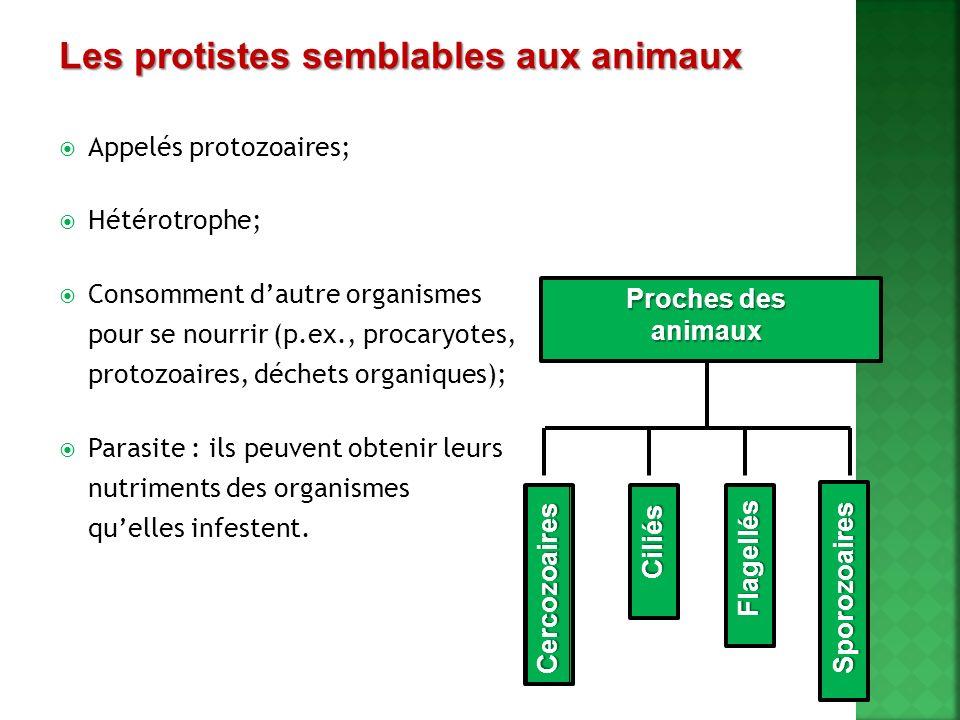 Appelés protozoaires; Hétérotrophe; Consomment dautre organismes pour se nourrir (p.ex., procaryotes, protozoaires, déchets organiques); Parasite : il