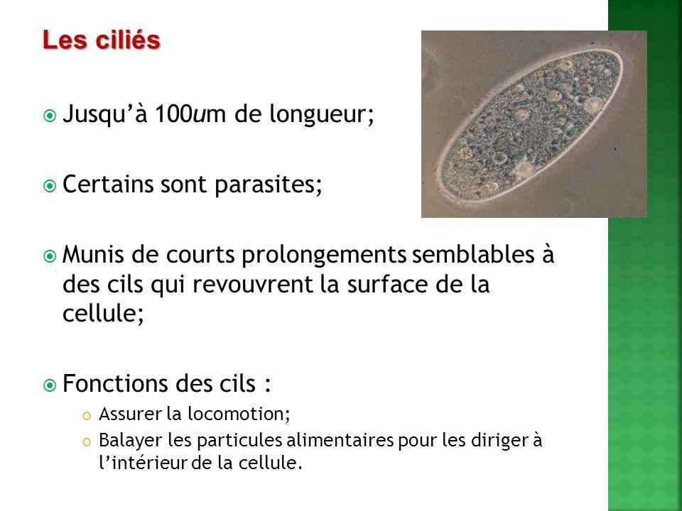 Vacuoles : assurent la digestion Cils : la cellule est recouverte de milliers de petits cils Sillon oral et tube alimentaire : Par laction des cils, les nutriments sont acheminés vers le sillion et dans le tube alimentaire Une paramécie