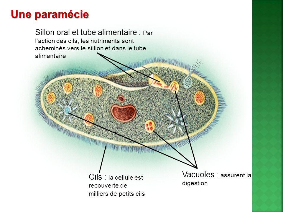 Le seul cilié pathogène pour lhumain : le Balantidium coli.