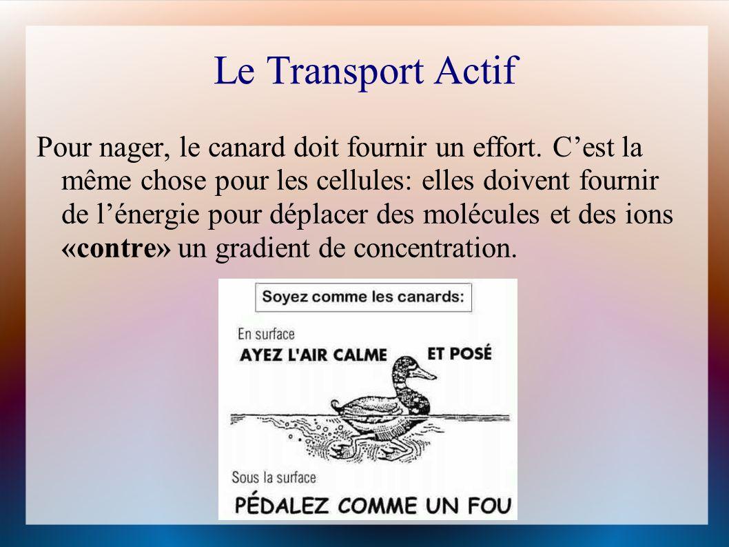 Le Transport Actif Pour nager, le canard doit fournir un effort.