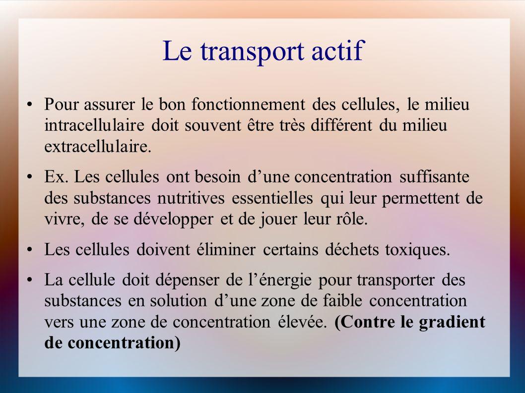 Le transport actif Pour assurer le bon fonctionnement des cellules, le milieu intracellulaire doit souvent être très différent du milieu extracellulaire.