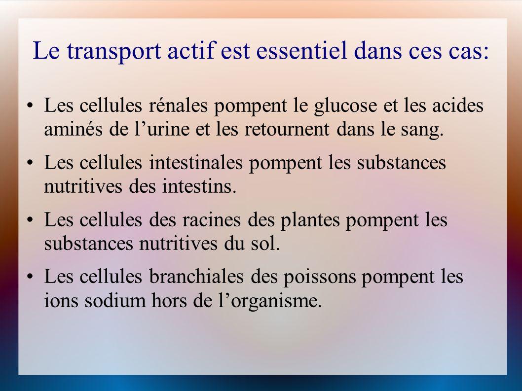 Le transport actif est essentiel dans ces cas: Les cellules rénales pompent le glucose et les acides aminés de lurine et les retournent dans le sang.