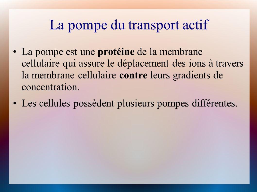 La pompe du transport actif La pompe est une protéine de la membrane cellulaire qui assure le déplacement des ions à travers la membrane cellulaire contre leurs gradients de concentration.
