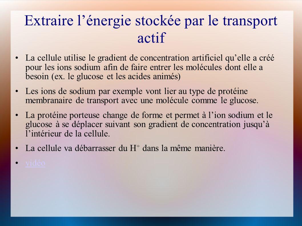 Extraire lénergie stockée par le transport actif La cellule utilise le gradient de concentration artificiel quelle a créé pour les ions sodium afin de faire entrer les molécules dont elle a besoin (ex.