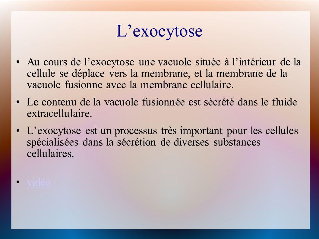 Lexocytose Au cours de lexocytose une vacuole située à lintérieur de la cellule se déplace vers la membrane, et la membrane de la vacuole fusionne avec la membrane cellulaire.