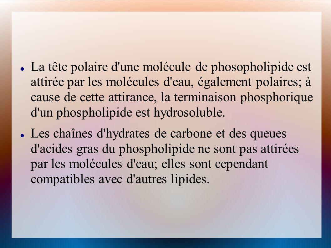 Pinocytose La pinocytose est lingestion de petites particules ou de gouttelettes contenant des substances nutritives en suspension dans le fluide extracellulaire.