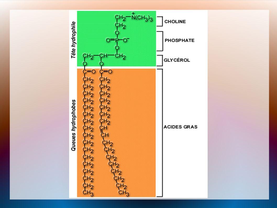 La Bicouche Quand les molécules de phospholipides sont placé dans de l eau, par une combinaison d attraction et de répulsion, les phospholipides s organisent en une bicouche sphérique.