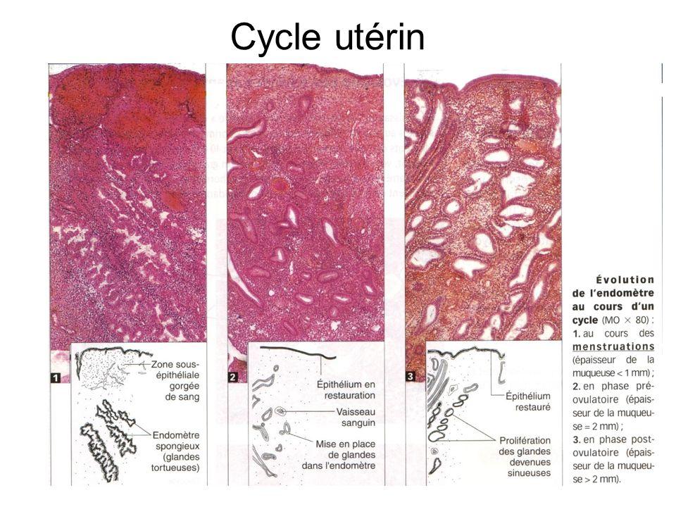 Cycle utérin