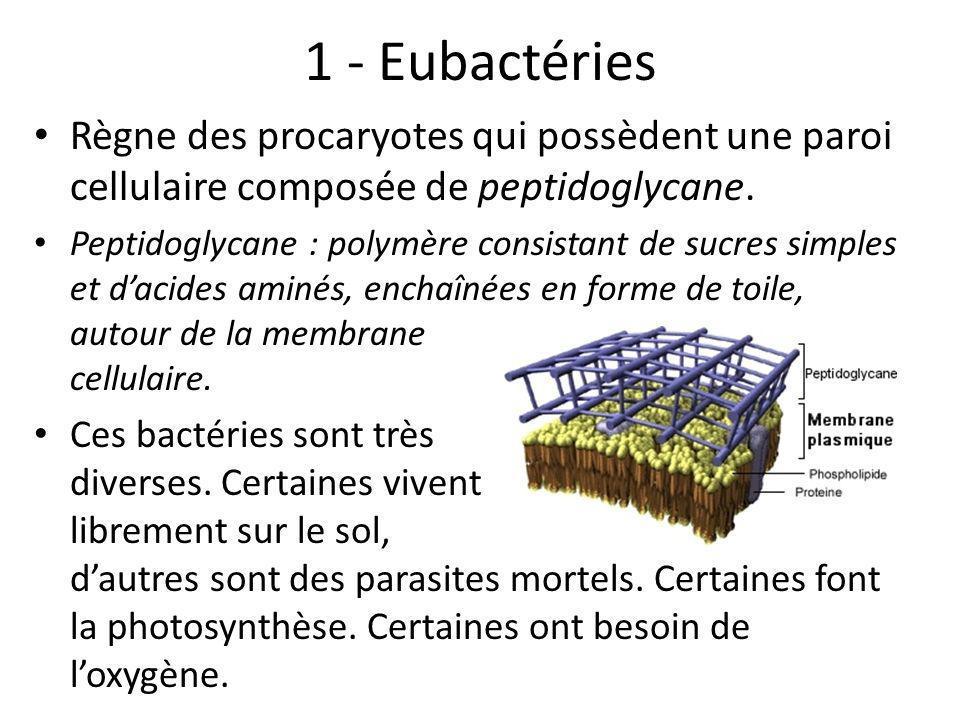 1 - Eubactéries Règne des procaryotes qui possèdent une paroi cellulaire composée de peptidoglycane. Peptidoglycane : polymère consistant de sucres si