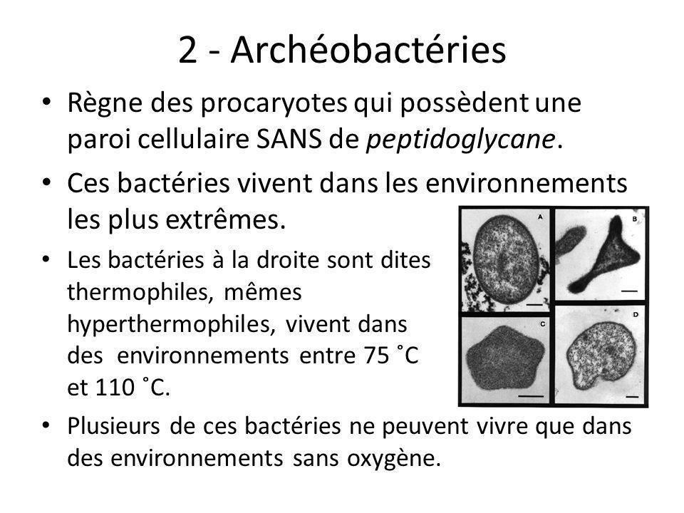 2 - Archéobactéries Règne des procaryotes qui possèdent une paroi cellulaire SANS de peptidoglycane. Ces bactéries vivent dans les environnements les
