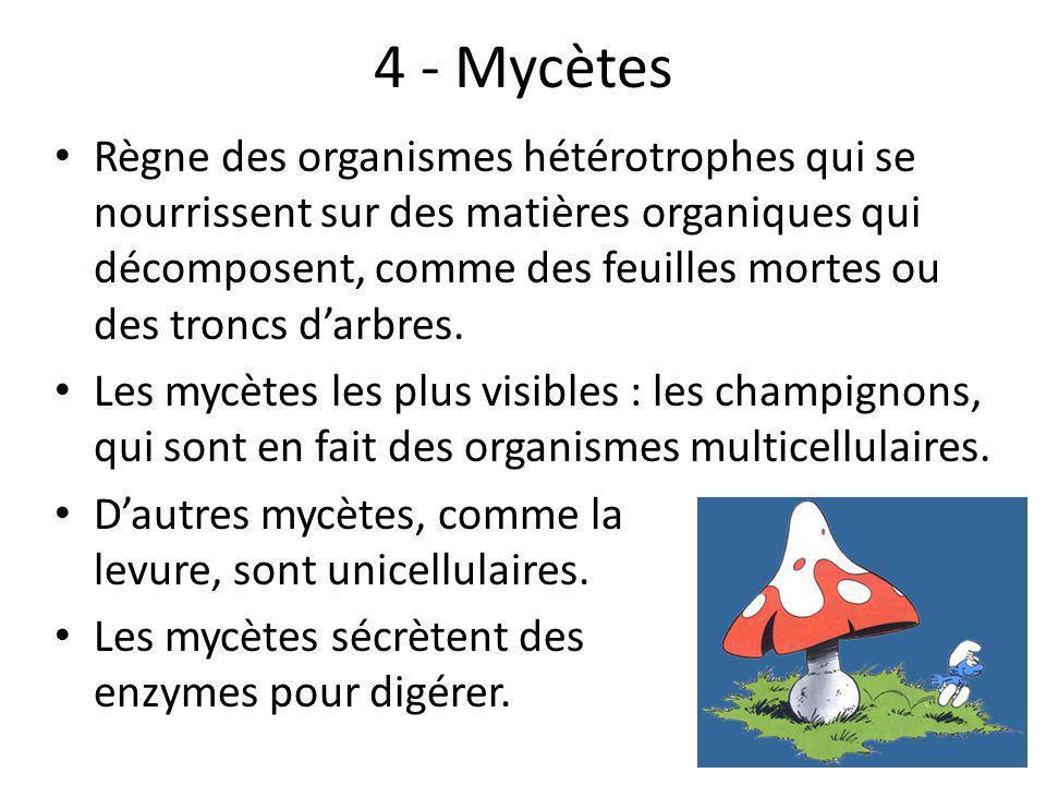 4 - Mycètes Règne des organismes hétérotrophes qui se nourrissent sur des matières organiques qui décomposent, comme des feuilles mortes ou des troncs darbres.