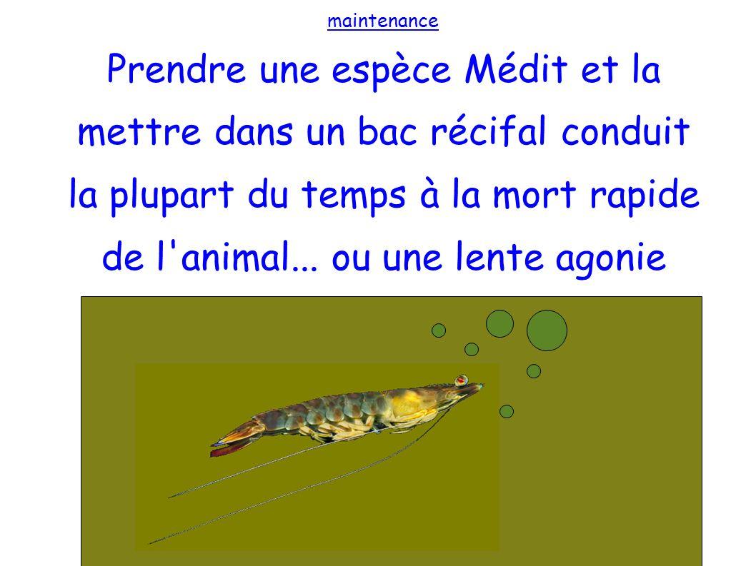 maintenance Prendre une espèce Médit et la mettre dans un bac récifal conduit la plupart du temps à la mort rapide de l'animal... ou une lente agonie
