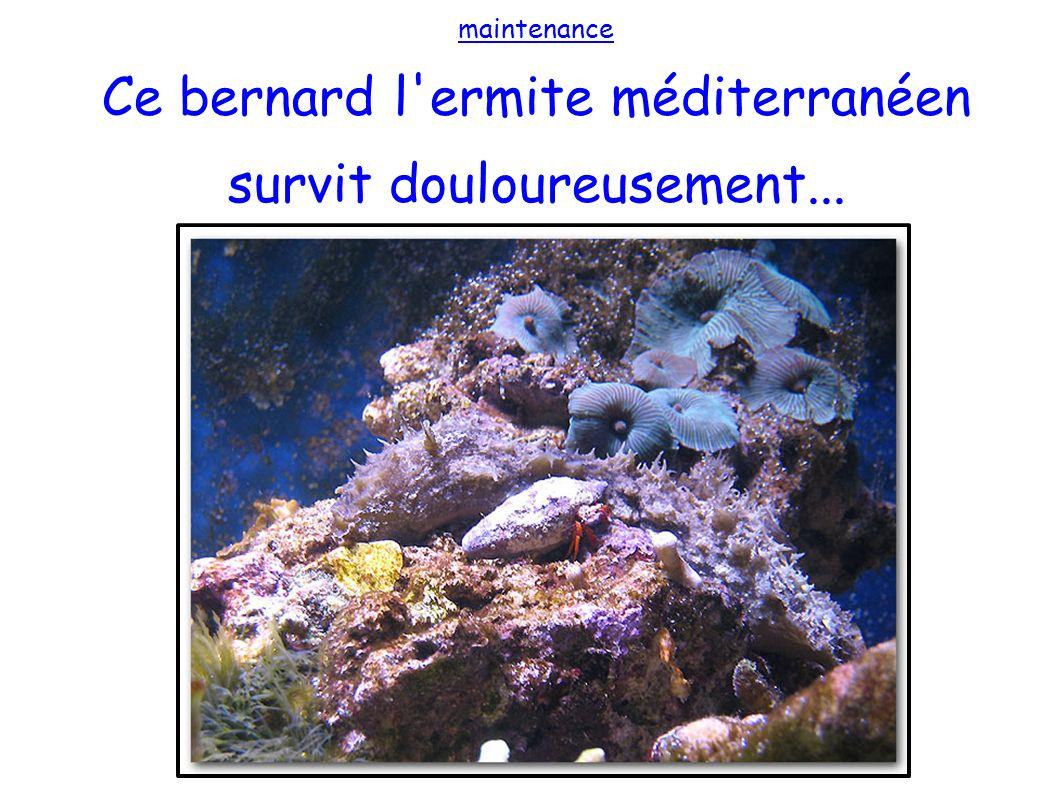 maintenance Ce bernard l'ermite méditerranéen survit douloureusement...