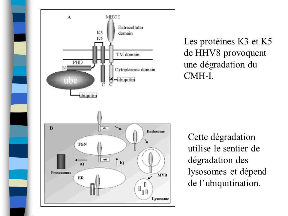 Les protéines K3 et K5 de HHV8 provoquent une dégradation du CMH-I. Cette dégradation utilise le sentier de dégradation des lysosomes et dépend de lub