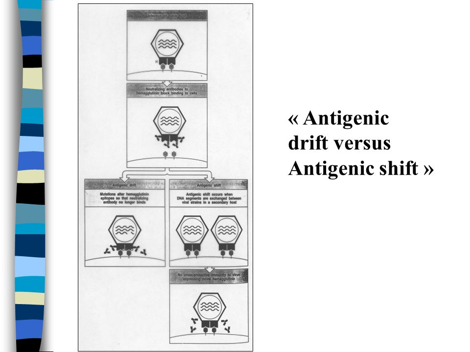 « Antigenic drift versus Antigenic shift »