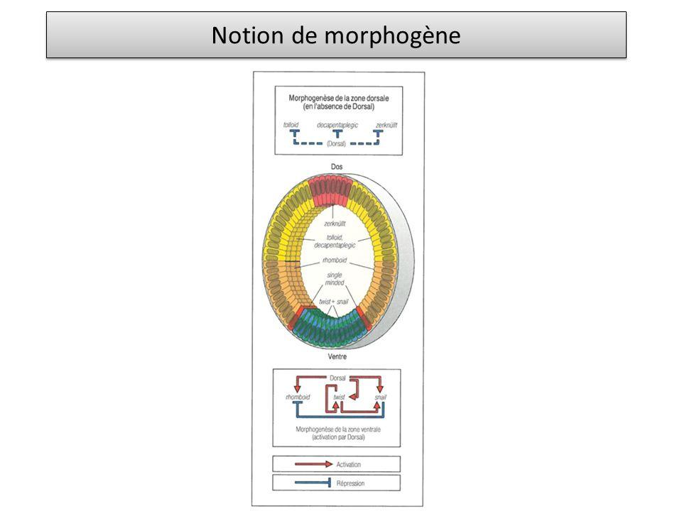 Notion de morphogène