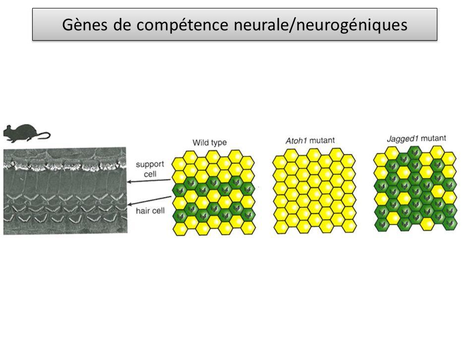 Gènes de compétence neurale/neurogéniques
