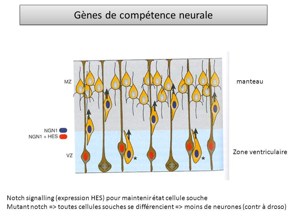 Gènes de compétence neurale manteau Zone ventriculaire Notch signalling (expression HES) pour maintenir état cellule souche Mutant notch => toutes cel
