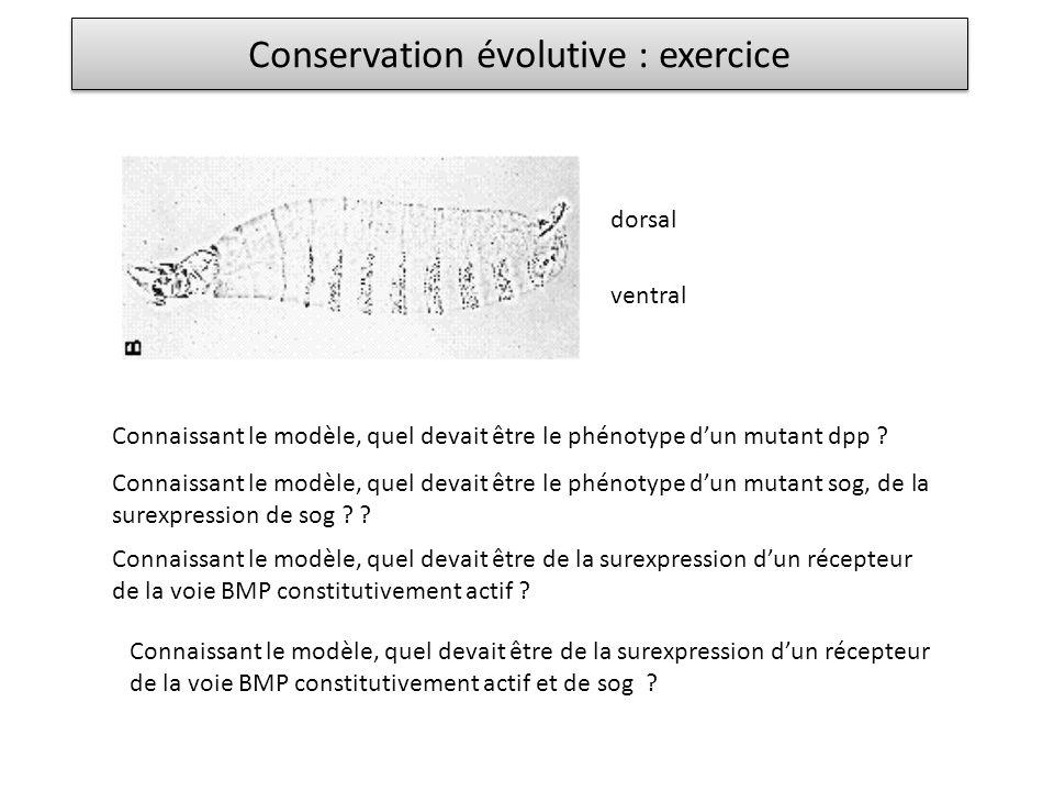 Conservation évolutive : exercice ventral dorsal Connaissant le modèle, quel devait être le phénotype dun mutant dpp ? Connaissant le modèle, quel dev