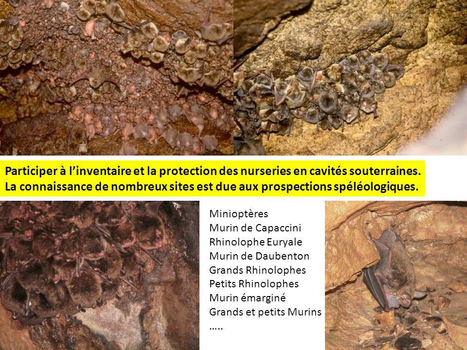 Participer à linventaire et la protection des nurseries en cavités souterraines. La connaissance de nombreux sites est due aux prospections spéléologi