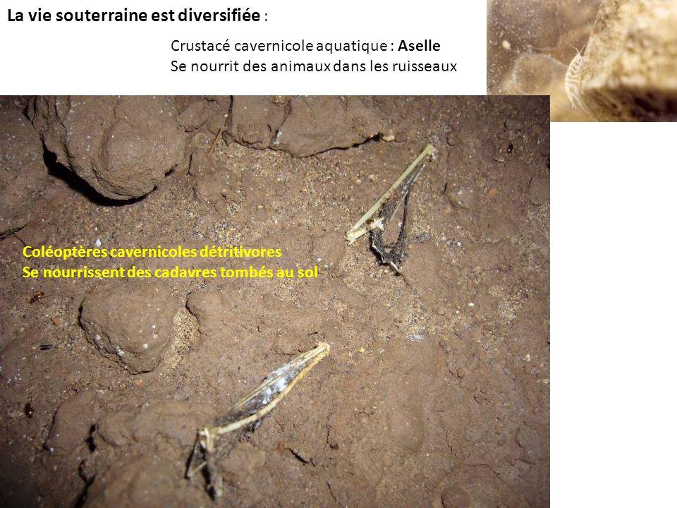La vie souterraine est diversifiée : Crustacé cavernicole aquatique : Aselle Se nourrit des animaux dans les ruisseaux Coléoptères cavernicoles détrit
