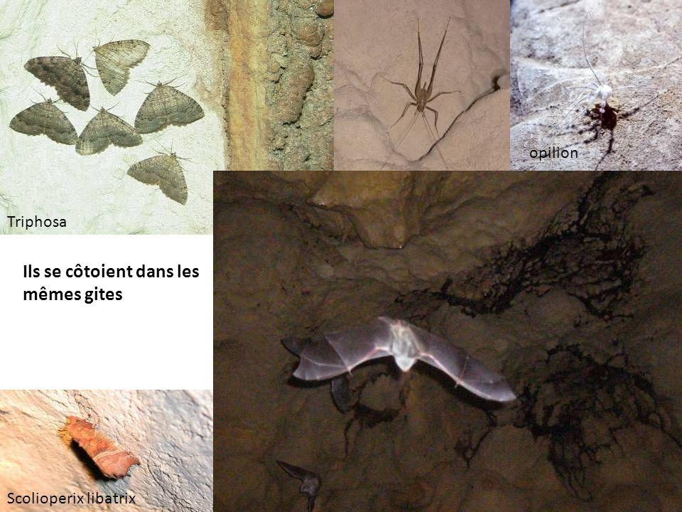 Ils se côtoient dans les mêmes gites Triphosa Scolioperix libatrix opilion