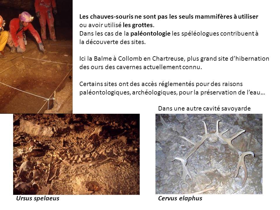 Ursus spelaeusCervus elaphus Les chauves-souris ne sont pas les seuls mammifères à utiliser ou avoir utilisé les grottes. Dans les cas de la paléontol