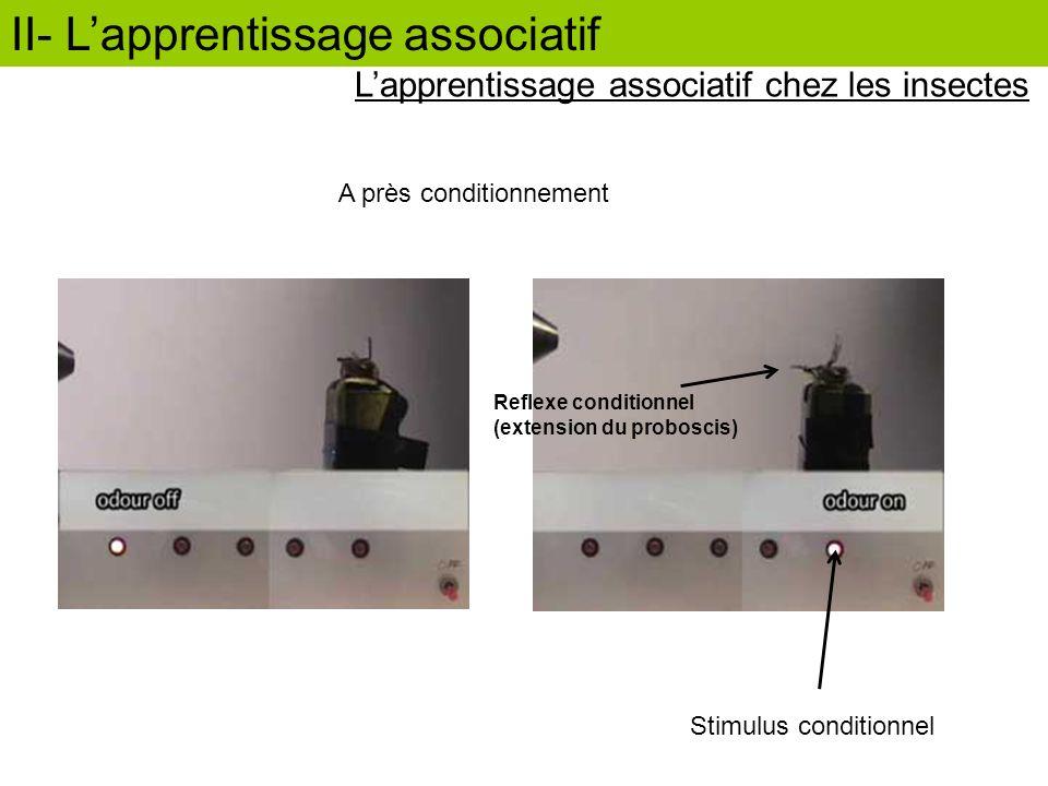 II- Lapprentissage associatif A près conditionnement Stimulus conditionnel Reflexe conditionnel (extension du proboscis) Lapprentissage associatif che