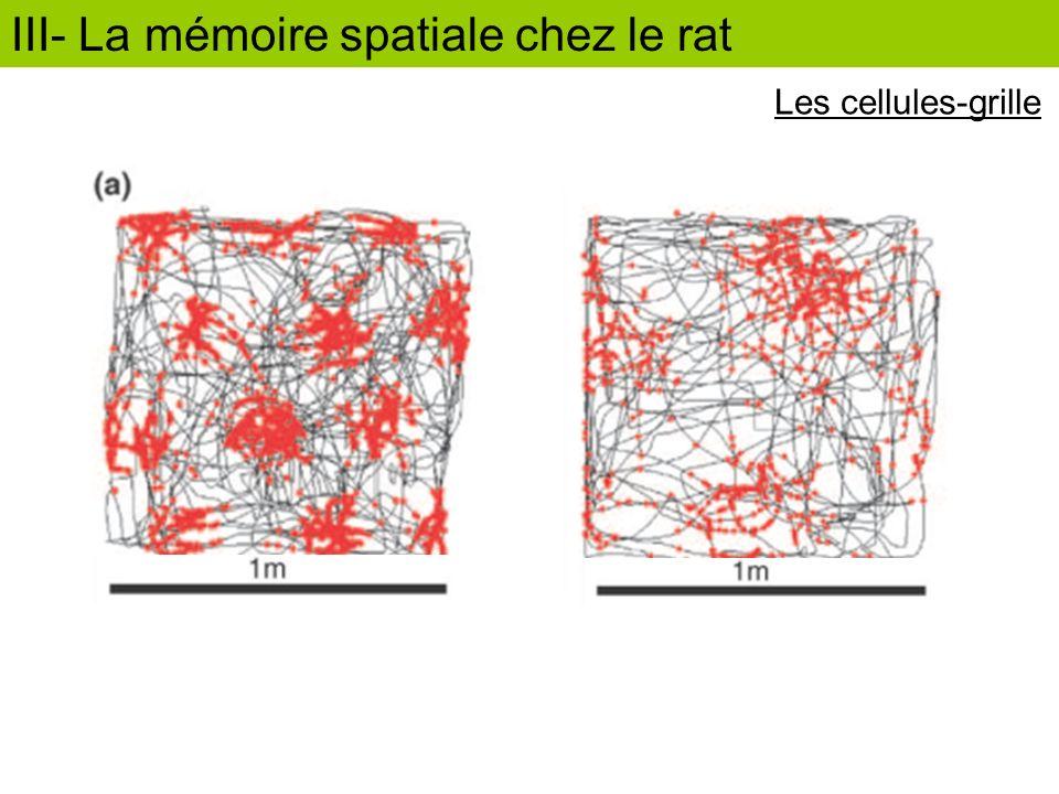 III- La mémoire spatiale chez le rat Les cellules-grille