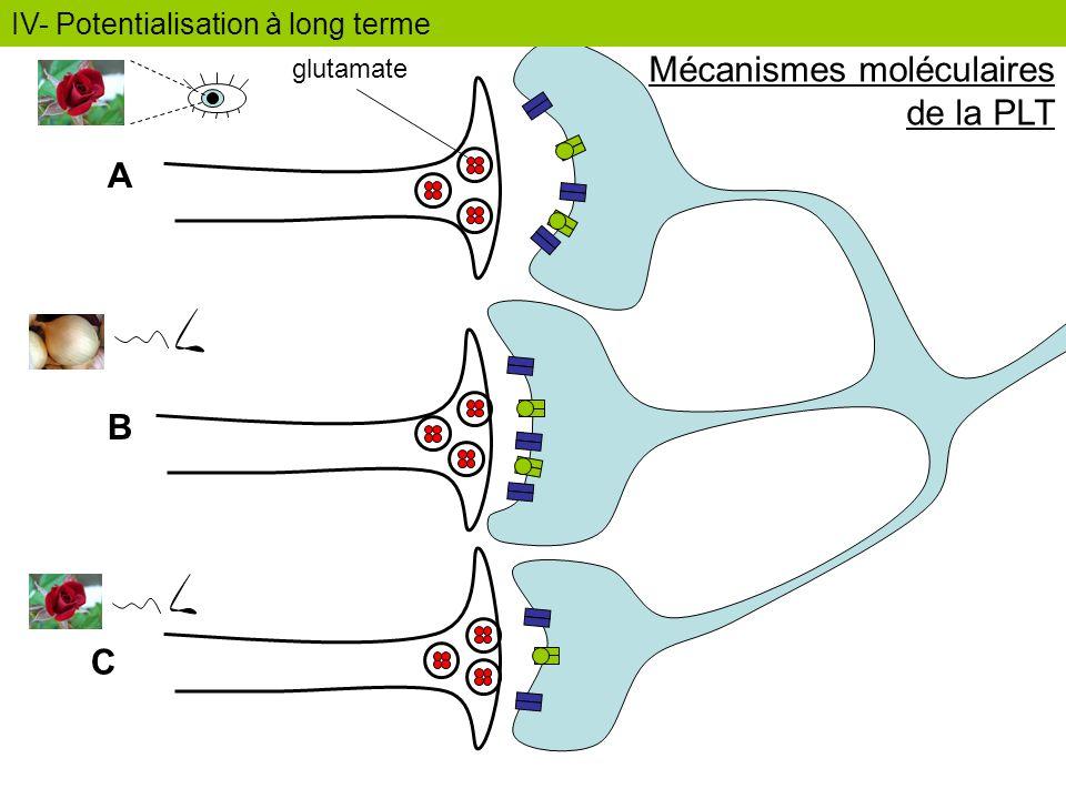 A B C glutamate IV- Potentialisation à long terme Mécanismes moléculaires de la PLT